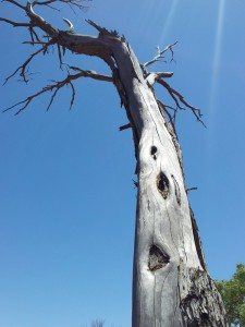 Still standing - a tree that was